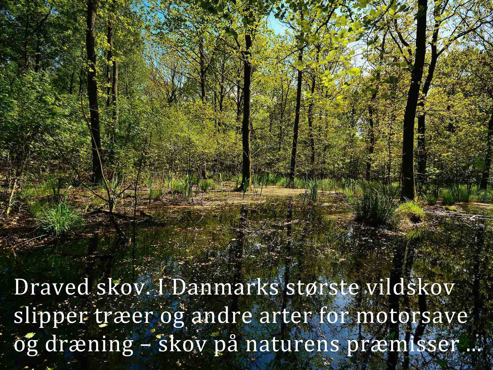 Draved Skov. I Danmarks største vildskov slipper træer og andre arter for motorsave og dræning ...