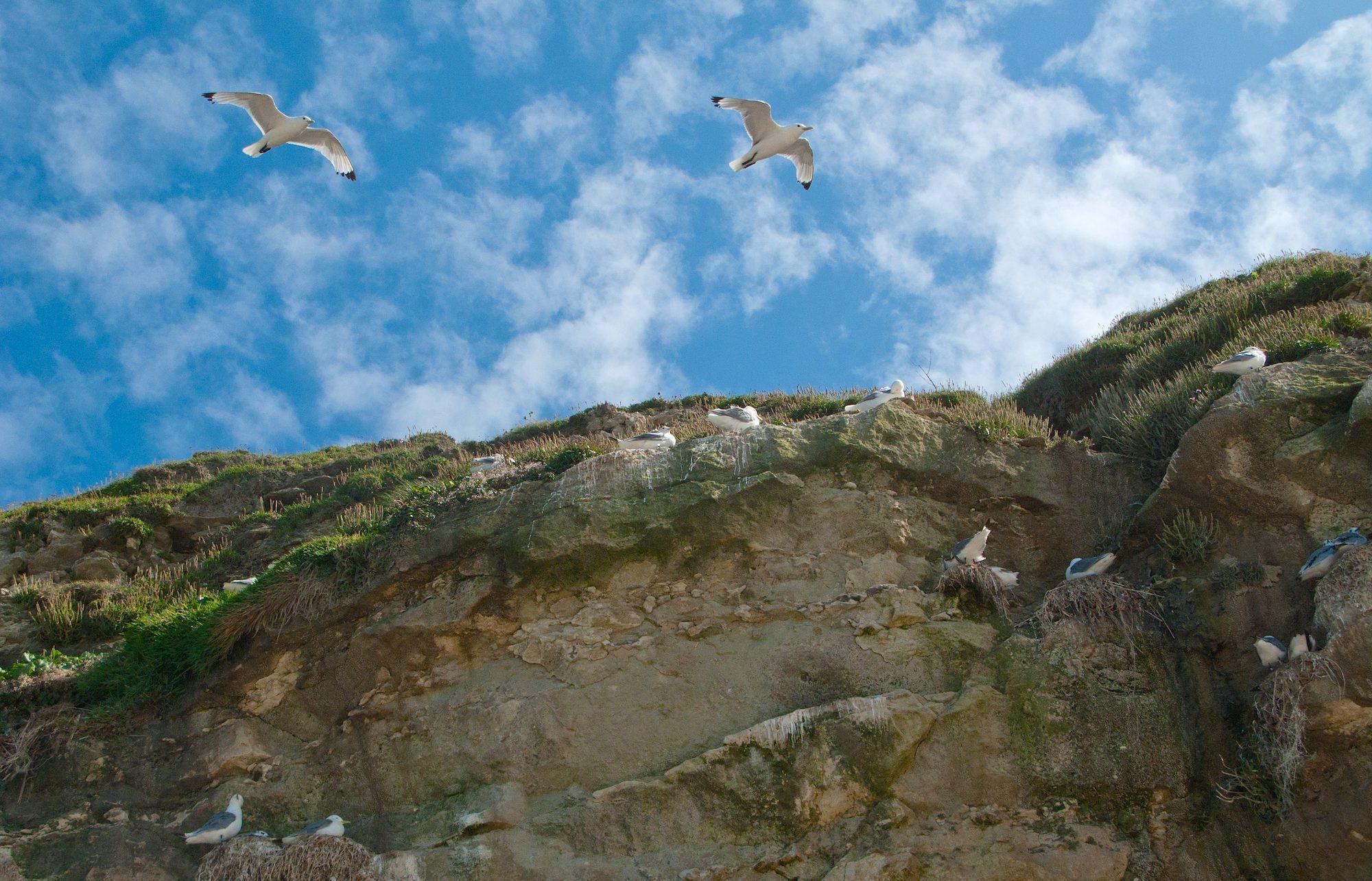 Danmarks største koloni af rider findes ved fuglefjeldet Bulbjerg (foto: Rune Engelbreth Larsen)
