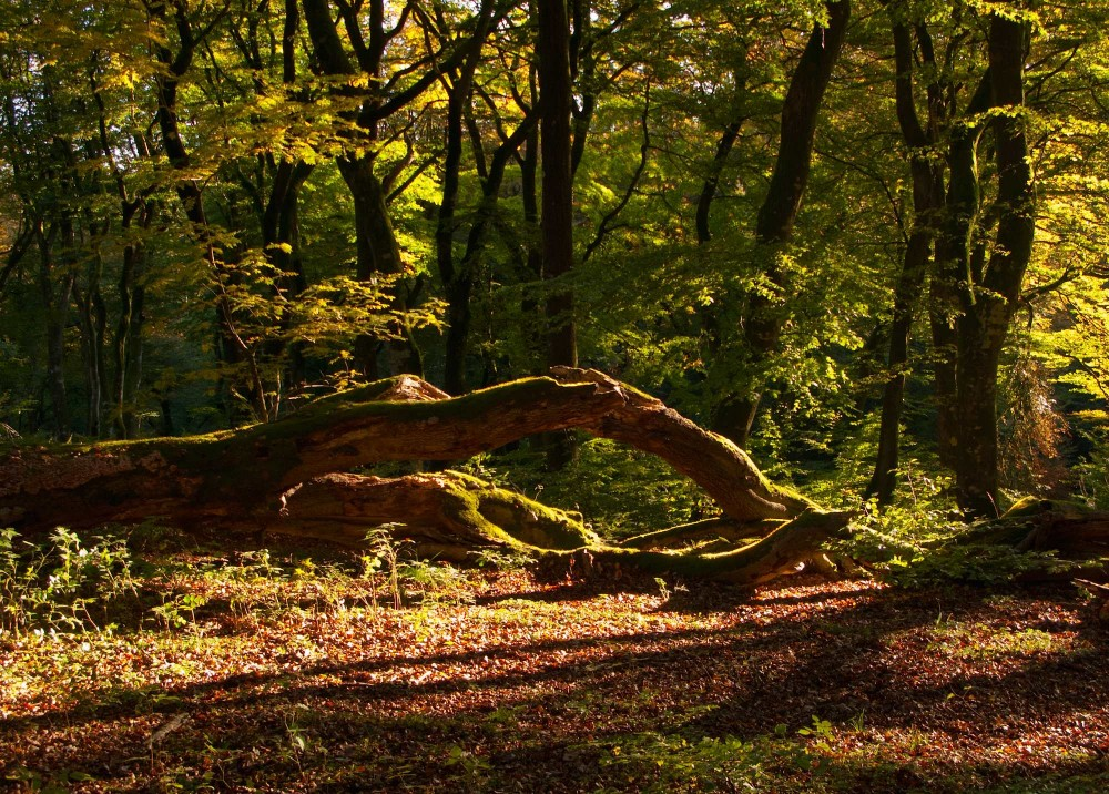 Troldeskoven i Rold Skov (foto: Rune Engelbreth Larsen)