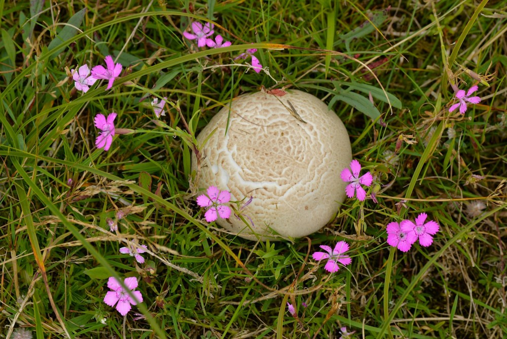 Skællet støvbold (foto: Rune Engelbreth Larsen)