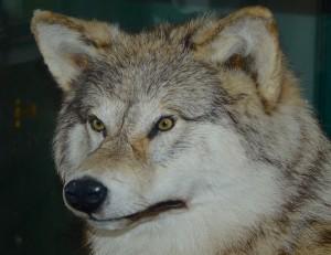 Udstoppet ulv i Besøgcenteret ved FLyndersø, hvor en udstilling om »Danmarks sidste ulv« helt frem til 2015 ikke fik nævnt, at ulve er vendt tilbage til landet siden 2012 (foto: Rune Engelbreth Larsen)