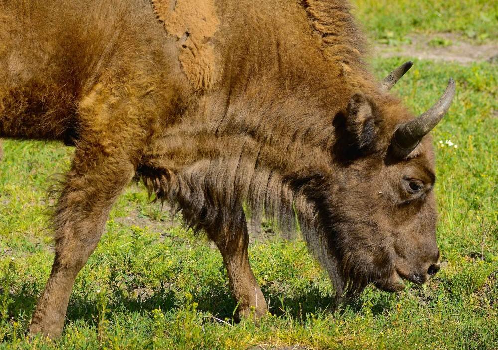 Europæisk bison er en græsser (foto © Rune Engelbreth Larsen)