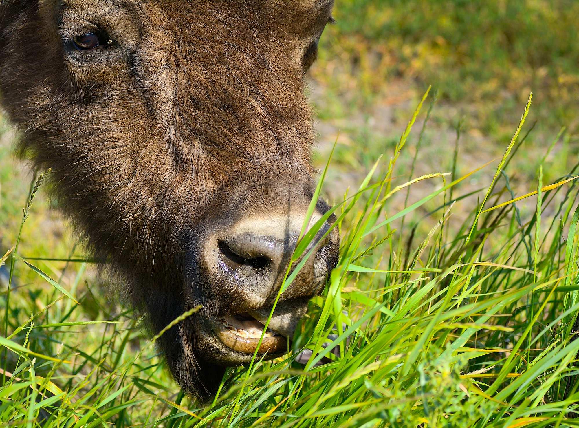 Europæisk bison æder græs (foto © Rune Engelbreth Larsen)