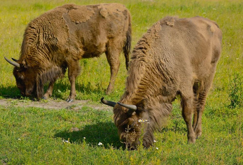 Europæisk bison – visent (foto: Rune Engelbreth Larsen)