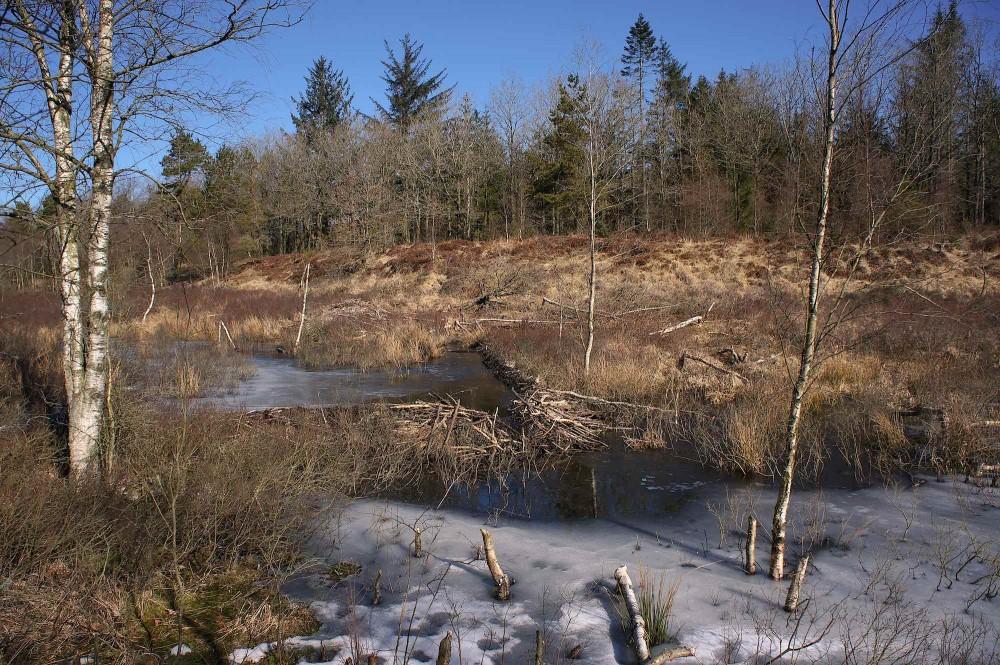 Mange spor fra bæveraktivitet en frostklar vintermorgen i Klosterheden (foto: Rune Engelbreth Larsen)