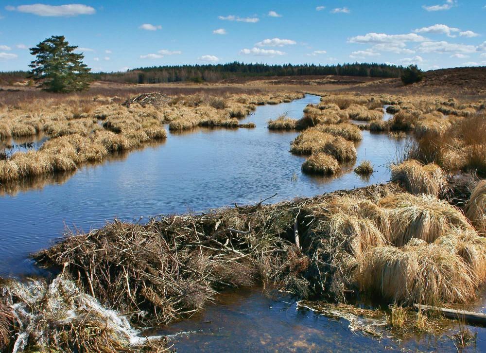 Bæverdæmning over Flynder Å i Klosterheden - et 6.400 hektar stort statsejet areal (foto: Rune Engelbreth Larsen)