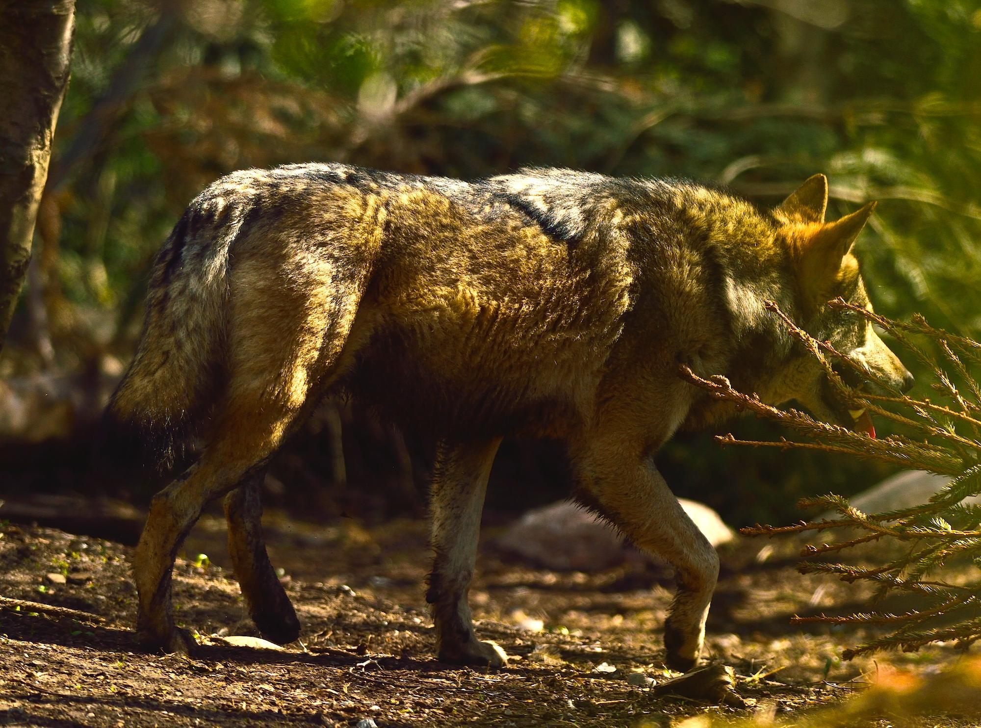 Hvor mange ulve er der i Danmark? 40, 20, 6 eller 4 ...?