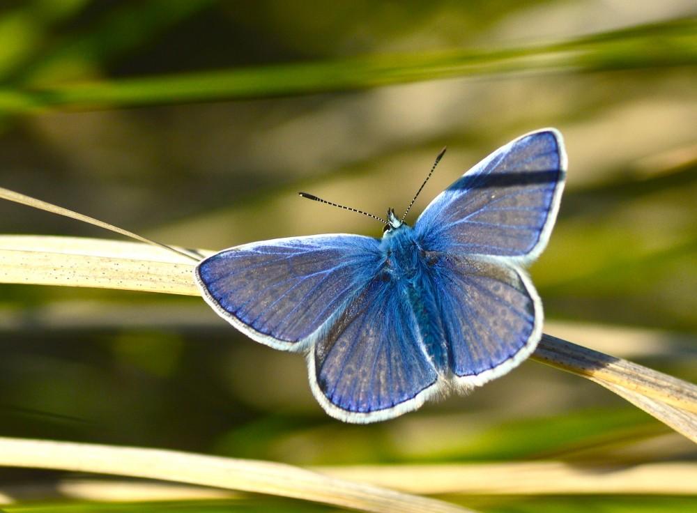 Almindelig blåfugl, han (foto: Rune Engelbreth Larsen)