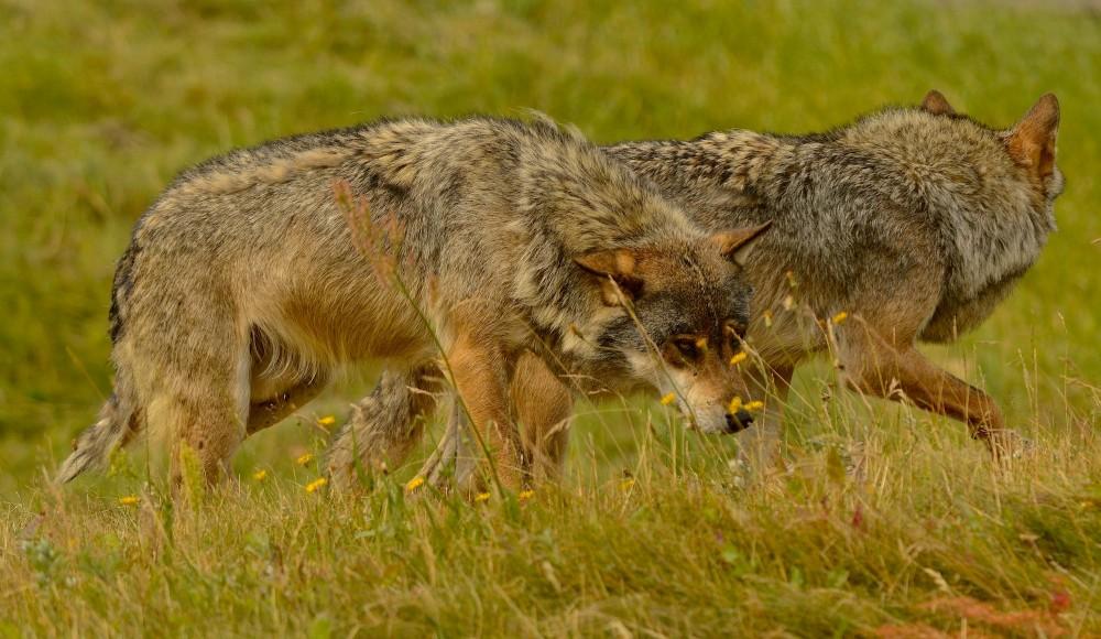 Ulve (foto: Rune Engelbreth Larsen)