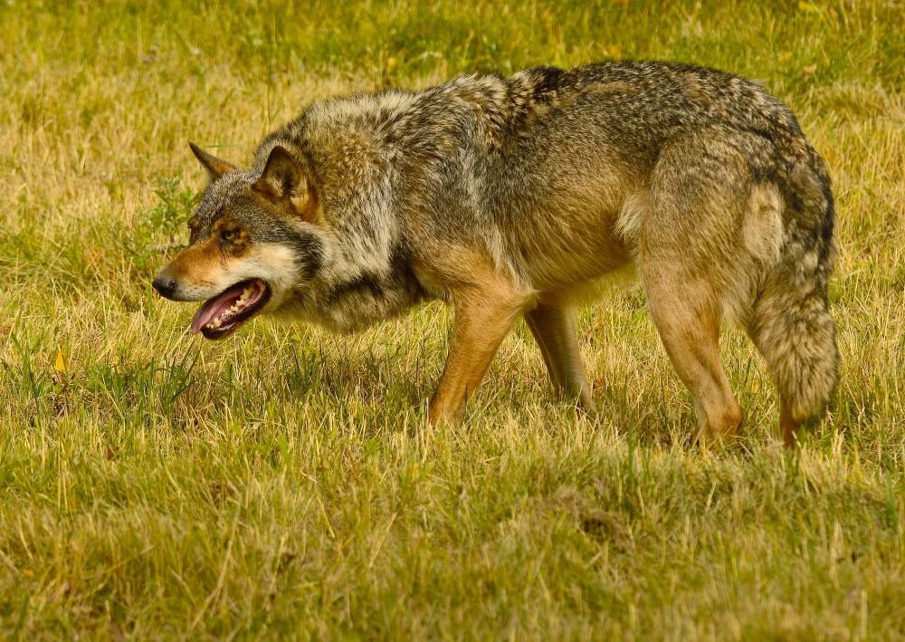 Trods sit imponerende tandsæt og sin historiske skurkerolle er ulven reelt forfløffende ufarlig for mennesker (foto: Rune Engelbreth Larsen)