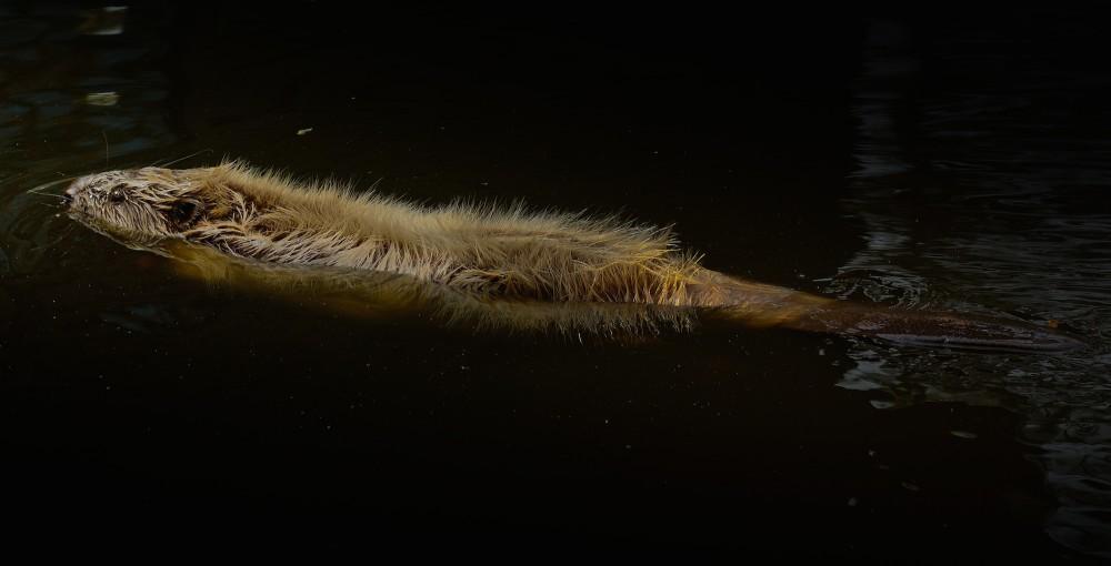 Regner man halen med, kan bævere blive 95-135 cm lang – nogle gange helt op til halvanden meter (foto: Rune Engelbreth Larsen)