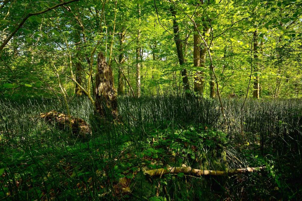 Skavgræs (foto: Rune Engelbreth Larsen)