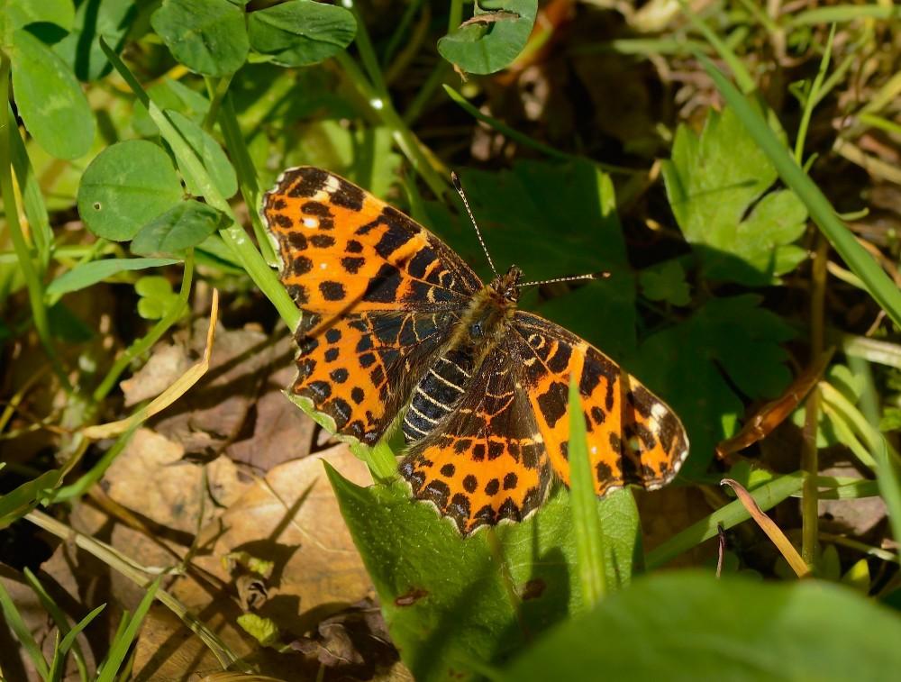 Nælde sommerfugl (foto: Rune Engelbreth Larsen)