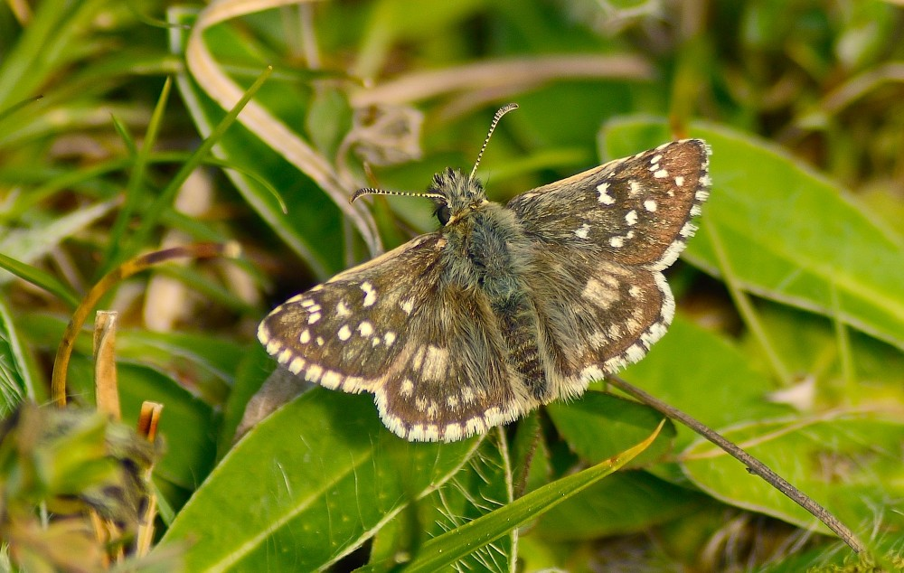 Fransk bredpande. Meget sjælden sommerfugl (foto: Rune Engelbreth Larsen)