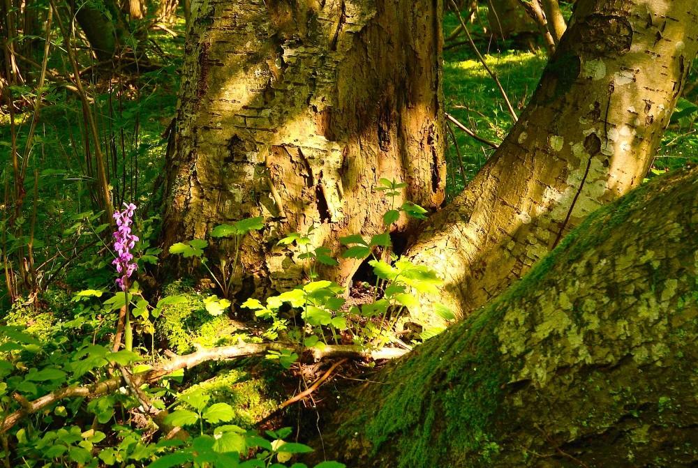 Tyndakset gøgeurt i skovbunden, Mareskov (foto: Rune Engelbreth Larsen)