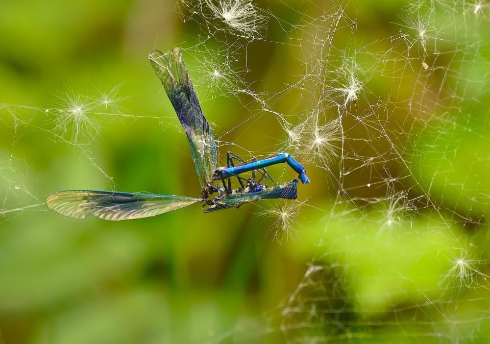 Sådan kan det gå ... Blåbåndet pragtvandnymfe i spindelvæv (foto: Rune Engelbreth Larsen)