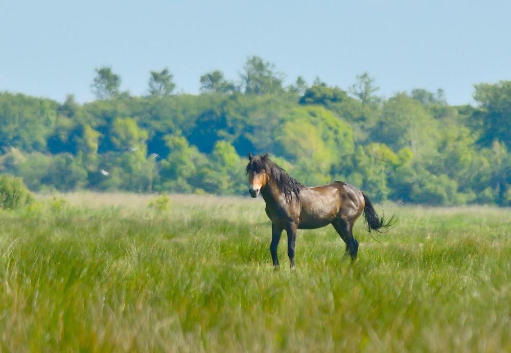 Exmoor/vildhest (foto: Rune Engelbreth Larsen)
