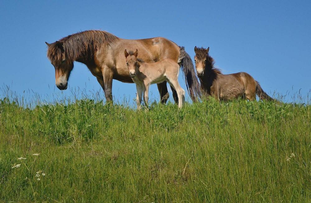 Vildheste – exmoor ponyer – ved Skjern Å (foto: Rune Engelbreth Larsen)