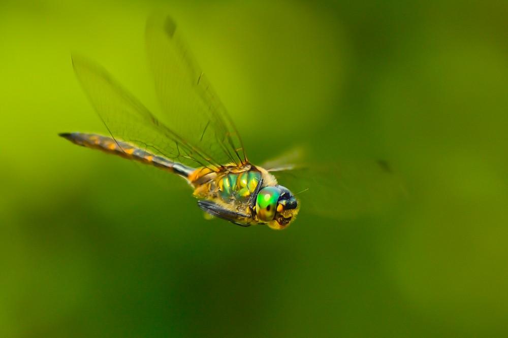 Plettet smaragdlibel (foto: Rune Engelbreth Larsen)