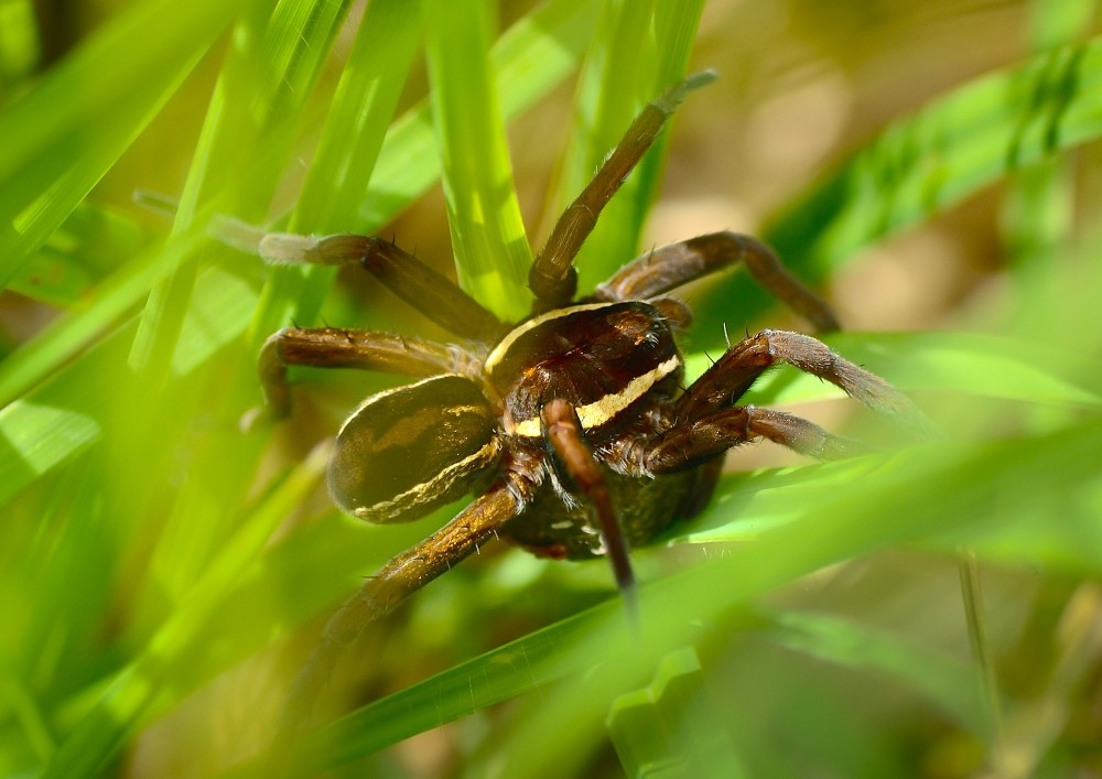 Stor rovedderkop (foto: Rune Engelbreth Larsen)