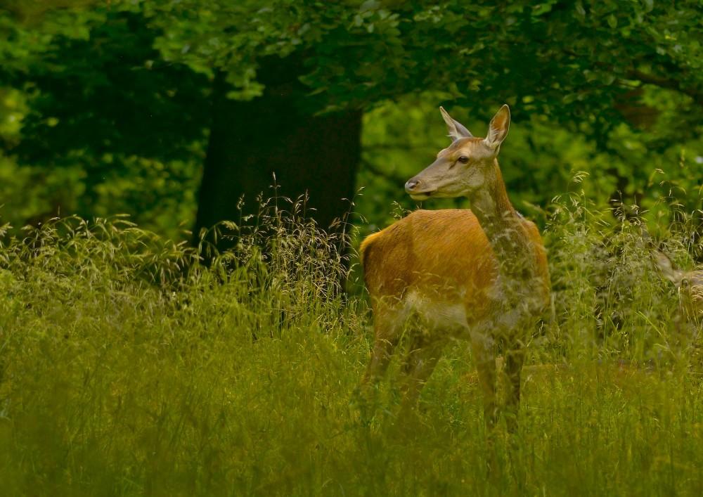 Krondyr, hind (foto: Rune Engelbreth Larsen)
