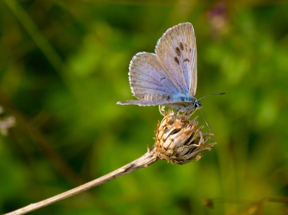 Sortplettet blåfugl (foto: Rune Engelbreth Larsen)
