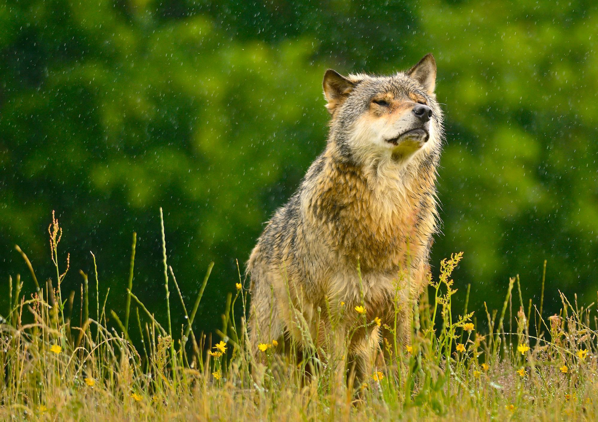 Enhver sidste nøgen blandt ulve