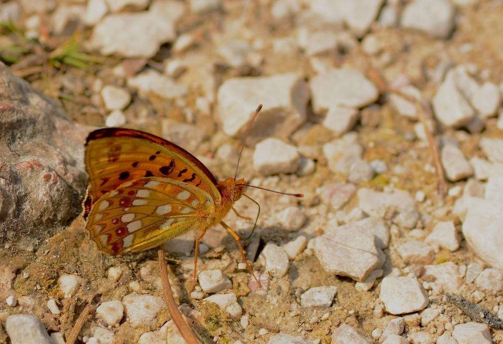 Skovperlemorsommerfugl (foto: Rune Engelbreth Larsen)