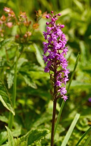 Orkidé fra bjergtoppen – af slægten trådspore, hvoraf der er ca. 22 forskellige arter i Europa (foto: Rune Engelbreth Larsen)