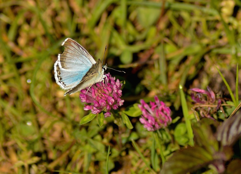 Kalkblåfugl - kaldes til tider også for sølvblåfugl på dansk (foto: Rune Engelbreth Larsen)