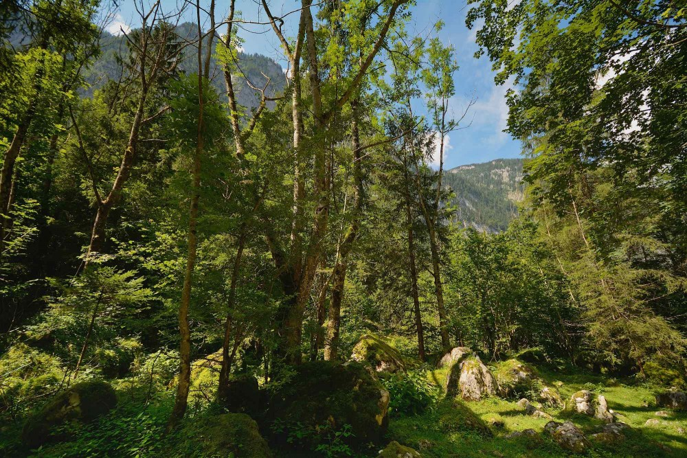 Skovparti mellem Obersee og Königssee (foto: Rune Engelbreth Larsen)