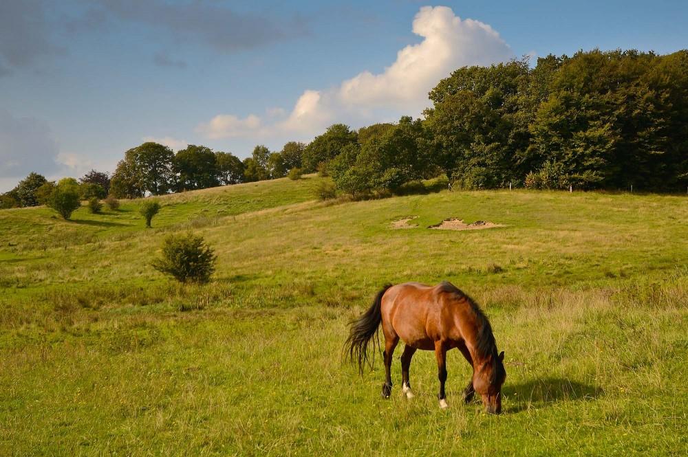 Græssende hest (foto: Rune Engelbreth Larsen)