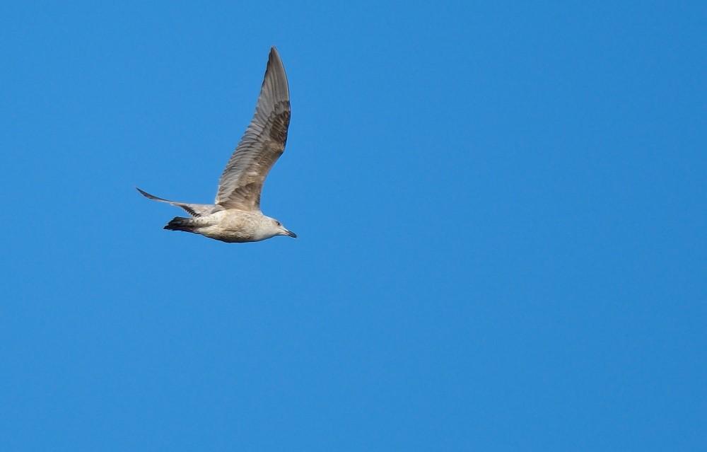 Ung sølvmåge (foto: Rune Engelbreth Larsen)