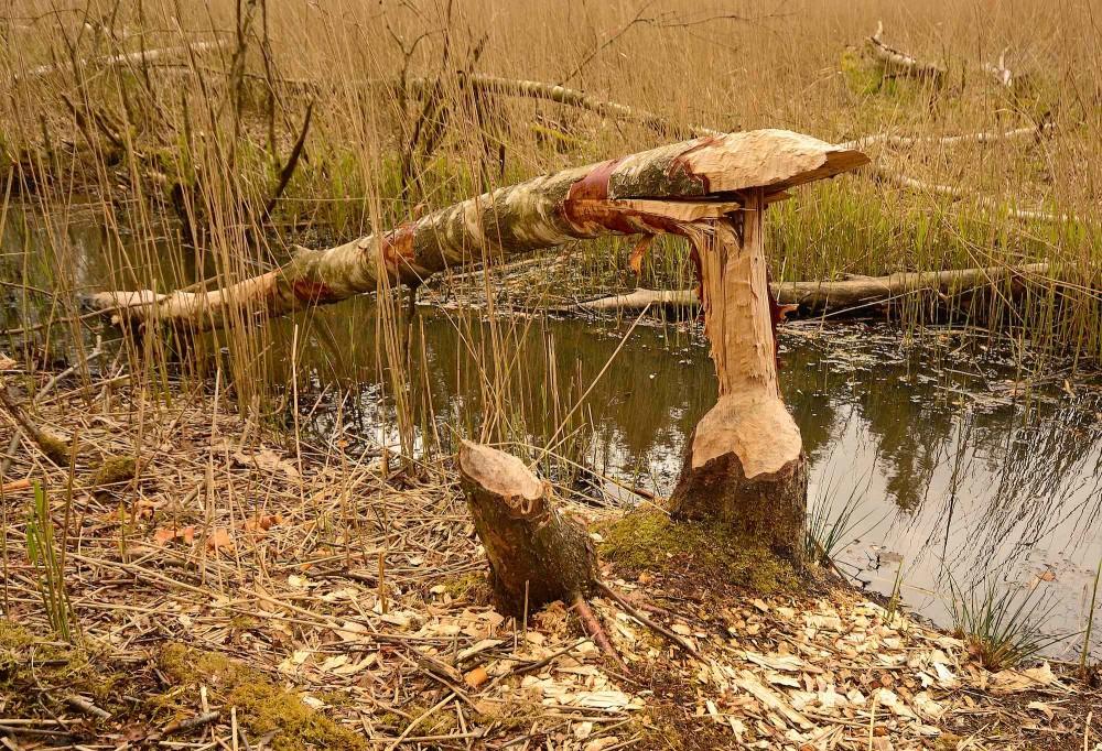 Natur-skulptur kreeret af bæver i Klosterheden (foto: Rune Engelbreth Larsen)