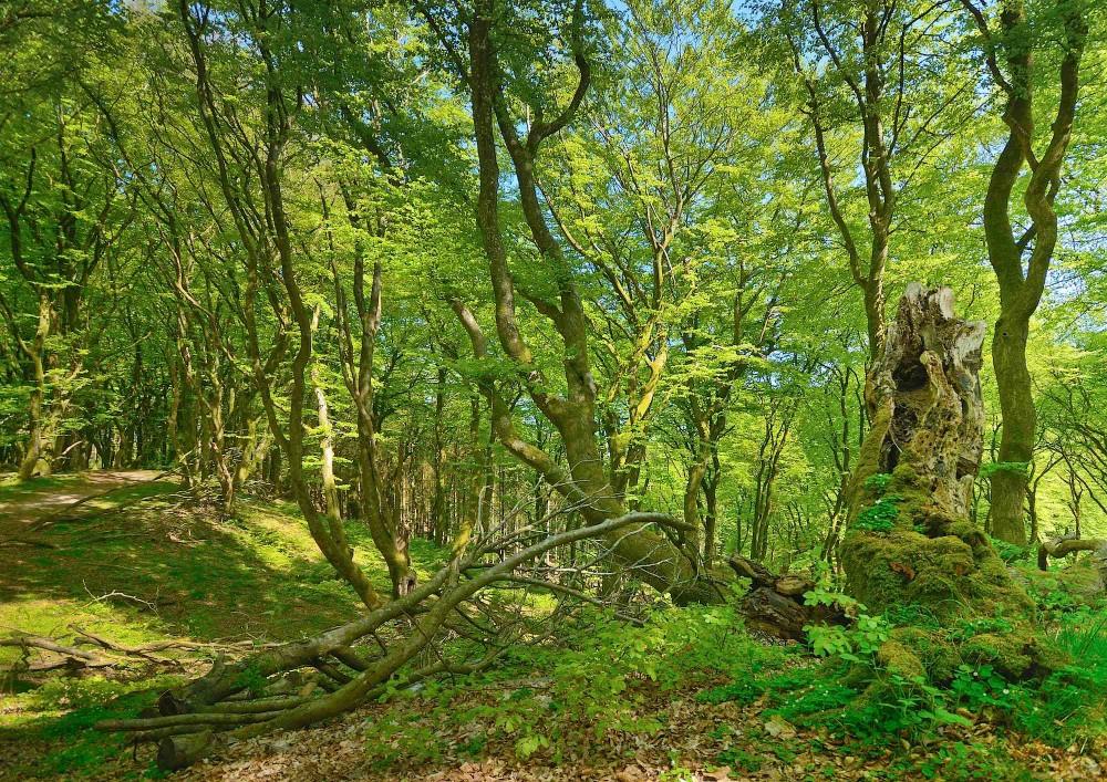 Troldeskoven er et godt navn, som flere steder betyder, at der er tale om vildskov (urørt skov) altså skov på skovens egne præmisser. Derfor bliver træerne gerne gamle og krogede, hvilket giver et smukt og eventyrligt skovlandskab som her en majdag i Troldeskoven i Rold Skov (foto: Rune Engelbreth Larsen)