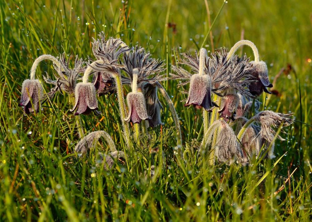Nikkende kobjælde (foto: Rune Engelbreth Larsen)