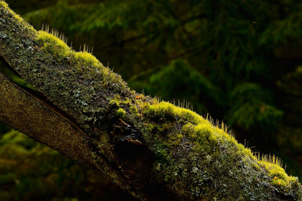 Døende træ er grobund for nyt liv, Tisvilde Hegn (foto: Rune Engelbreht Larsen)