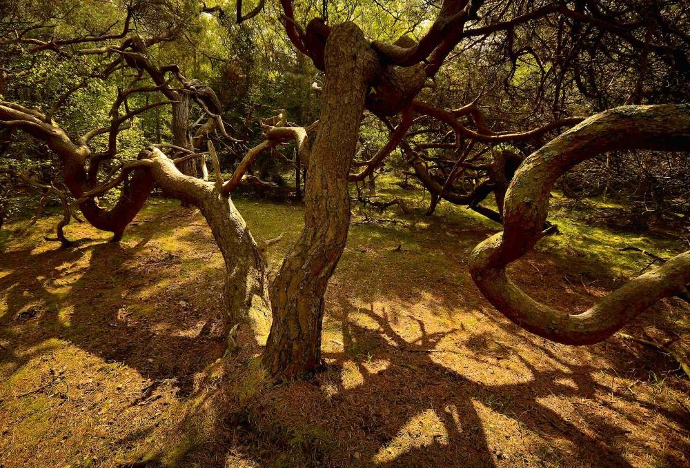 Troldeskoven i Tisvilde Hegn, maj. Fantastiske former opstår, når skoven får lov at være sig selv (foto: Rune Engelbreth Larsen)