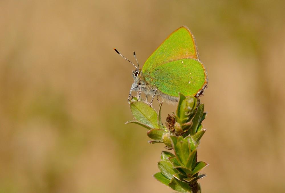 Grøn busksommerfugl (foto: Rune Engelbreth Larsen)