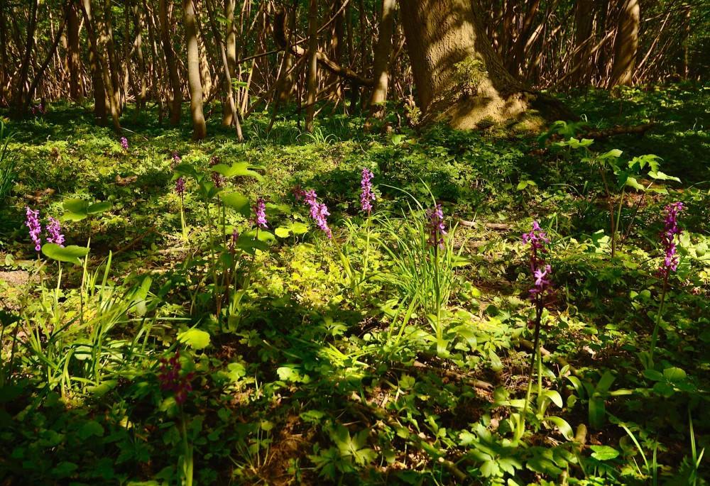 Orkideen tyndakset gøgeurt i Hørret Skov (foto: Rune Engelbreth Larsen)