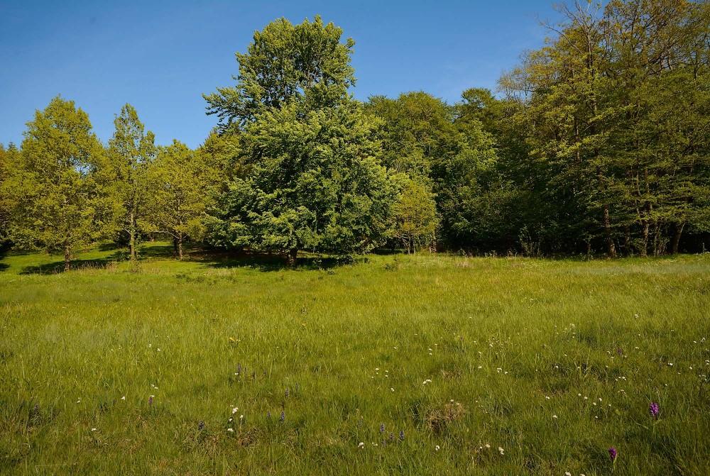 Skoveng i Hørret Skov (foto: Rune Engelbreth Larsen)