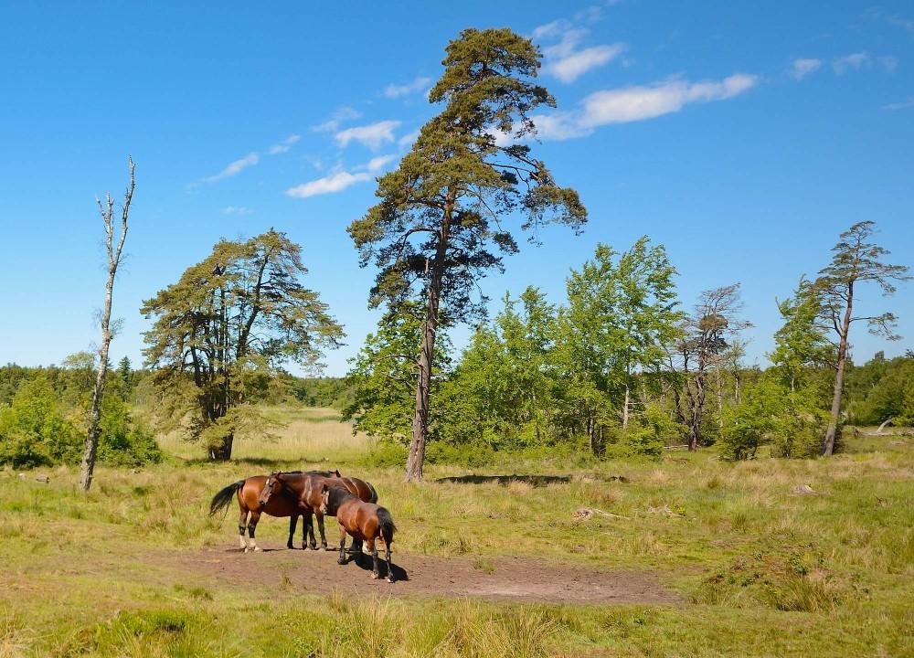 Sommergræsning ved Bastemose, Bornholm (foto: Rune Engelbreth Larsen)