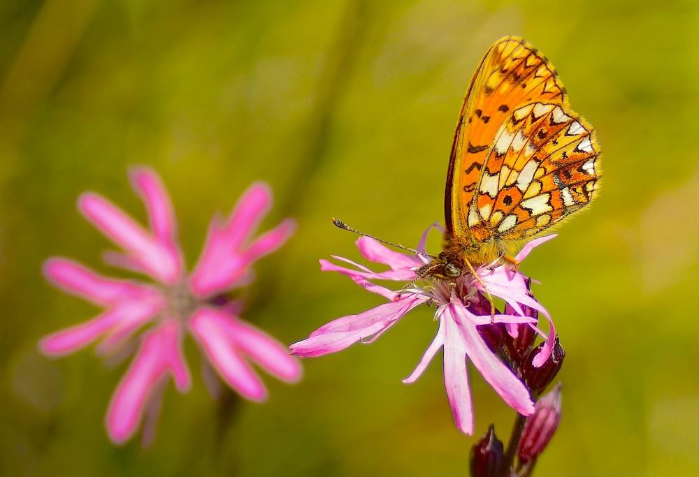 Brunlig perlemorsommerfugl på trevlekrone (foto: Rune Engelbreth Larsen)