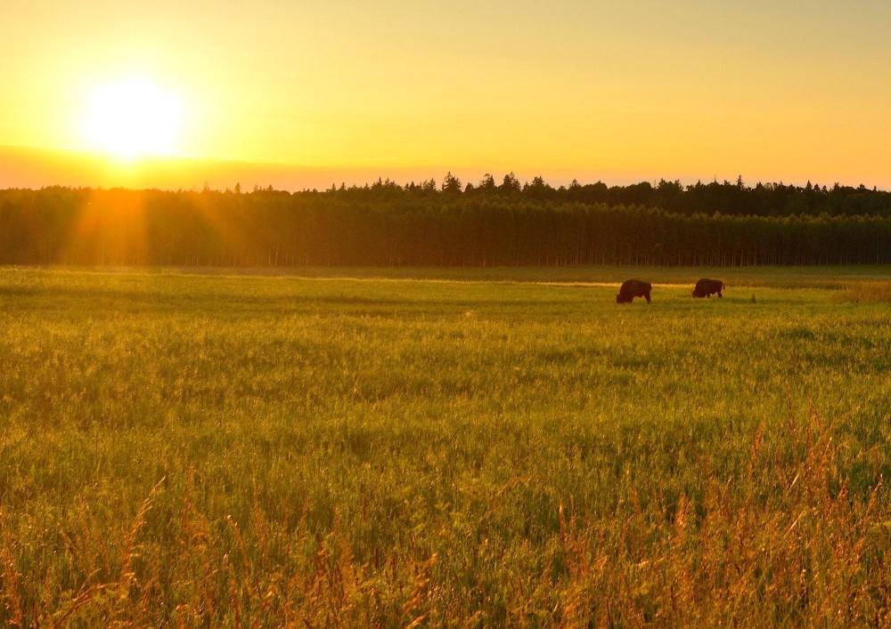 Solnedgang over Bialowieza Nationalpark – to tyre er netop kommet ud af skoven (foto: Rune Engelbreth Larsen)