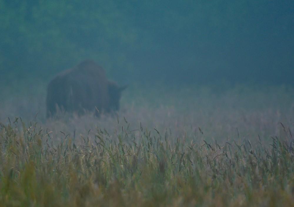 Bison skjuler sig i morgendisen, lige uden for skoven i Bialowieza (foto: Rune Engelbreth Larsen)