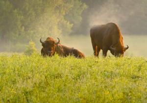 Skoven er næppe det foretrukne levested for europæisk bison – men snarere et eksil fra menneskelig tilstedeværelse. Derfor kommer de normalt kun ud af skoven omkring solopgang og -nedgang (foto: Rune Engelbreth Larsen)