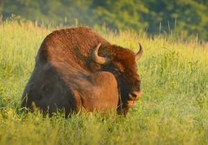 1 ton ta'r sig en slapper i græsset (foto: Rune Engelbreth Larsen)
