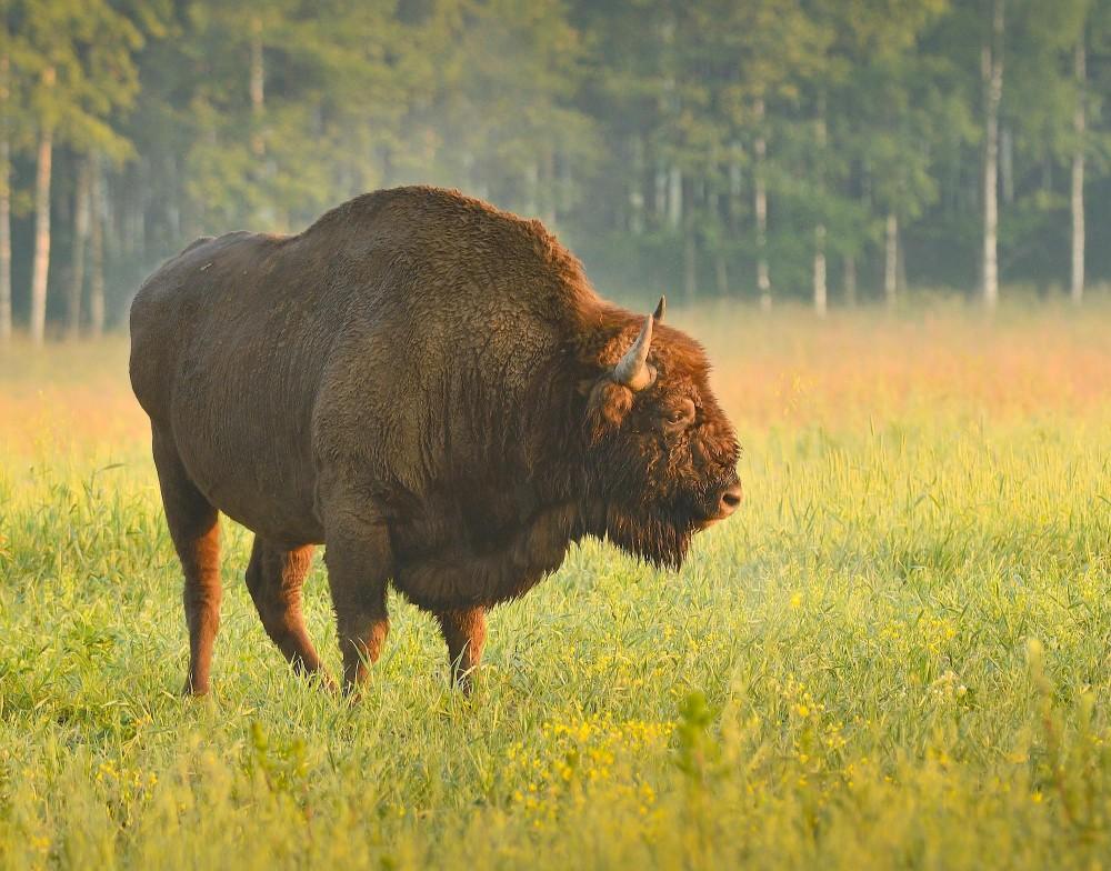 Europæisk bison (foto: Rune Engelbreth Larsen)