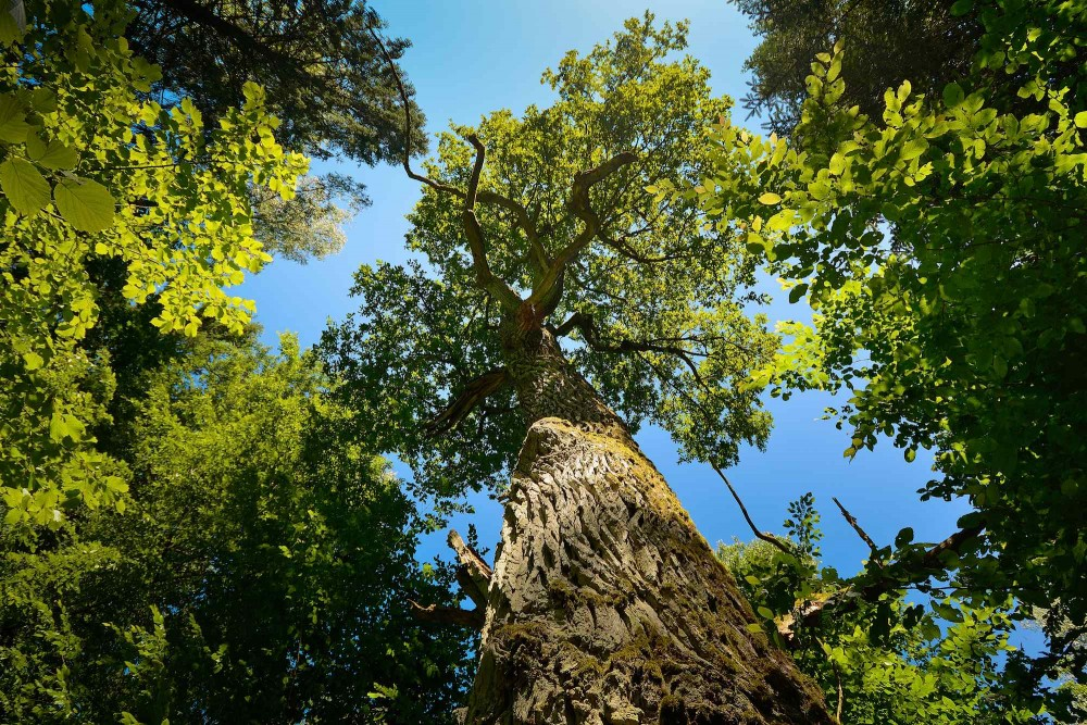 450 år gammelt egetræ i Bialowieza Nationalpark, Polen (foto: Rune Engelbreth Larsen)