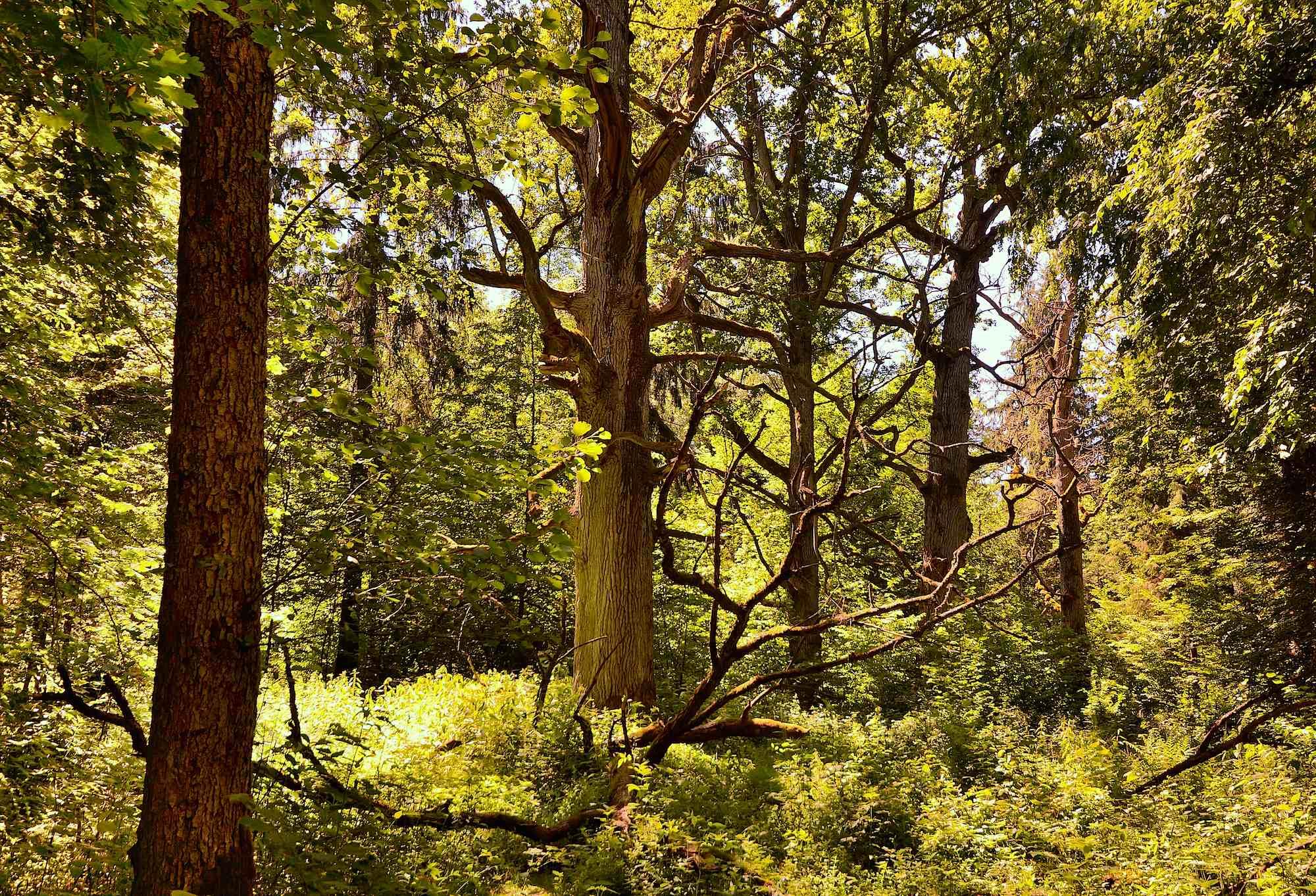 Gamle egetræer i Bialowieza Nationalpark, Polen (foto: Rune Engelbreth Larsen)
